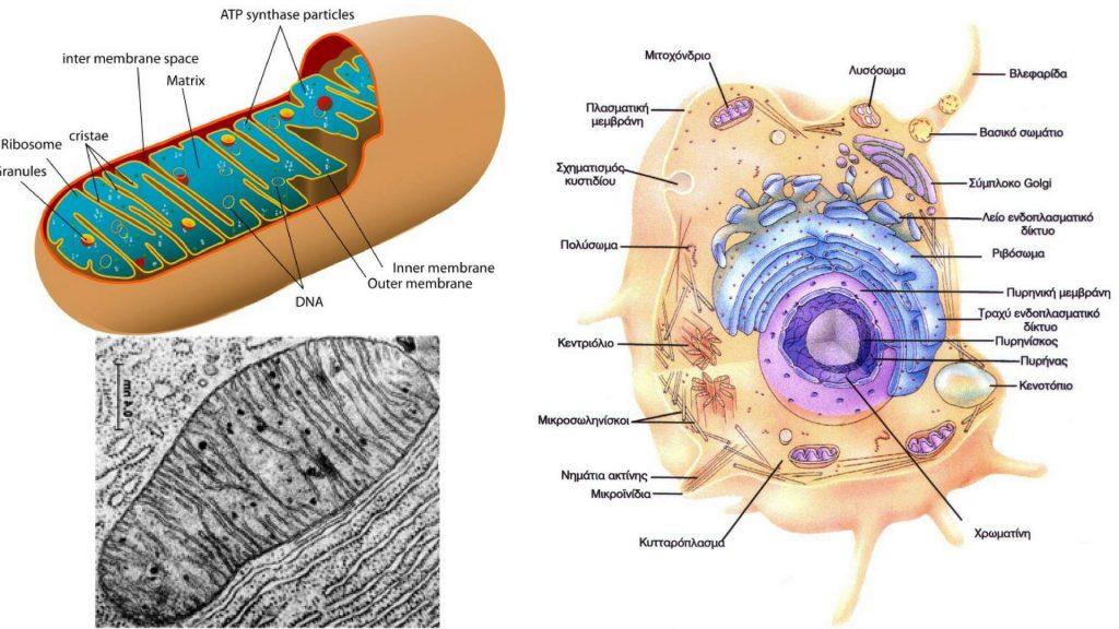 Σχηματική παράσταση της δομής ενός μιτοχονδίου