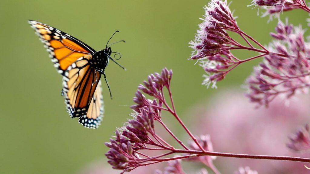 Πεταλουδα σε λουλουδι